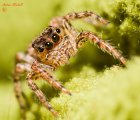Plexippus petersi (Common Housefly Catcher) - Jumping Spider